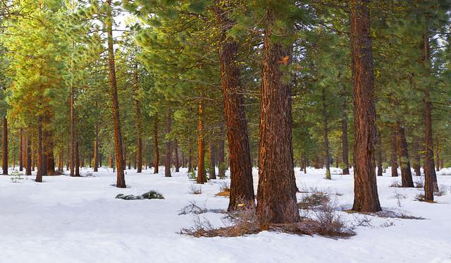 Ponderosa Pines (Central Oregon) .