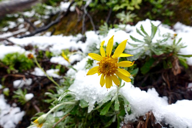 Sunflower in snow