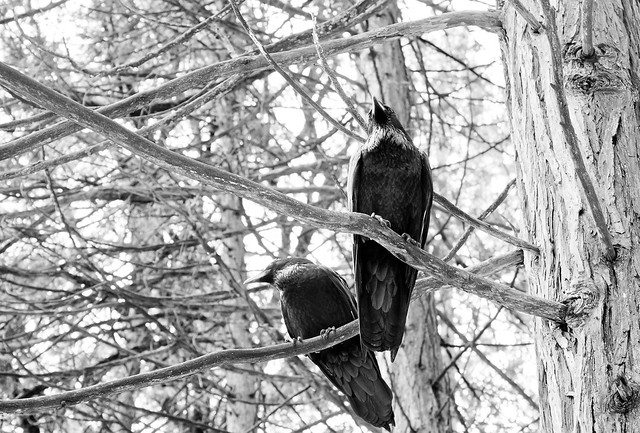 Watchful Ravens