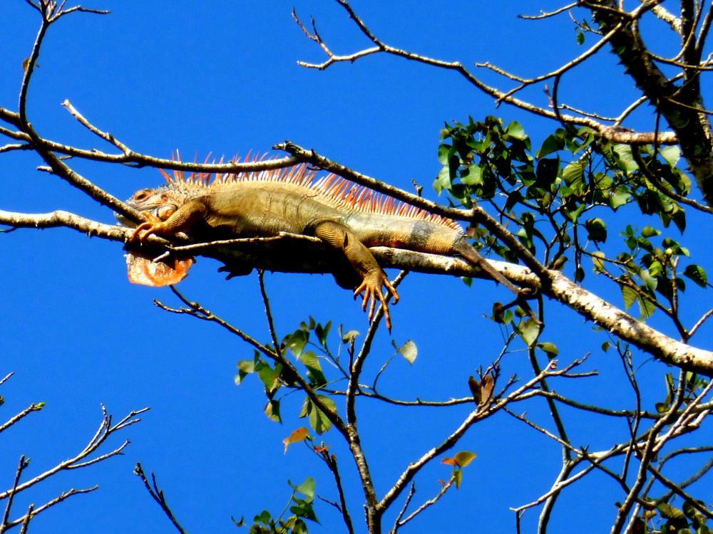 Puerto Viejo Iguana
