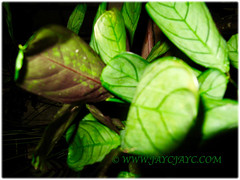 Ctenanthe burle-marxii 'Amaris' (Fishbone Prayer Plant) folding up at night, Feb 19 2016