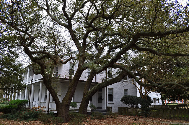 Fort Monroe, Live Oak (Quercus virginiana) (12)