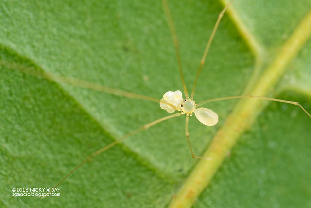 Daddy-long-legs spider (Belisana sp.) - DSC_6102