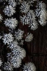 Ceratiomyxa fruticulosa slime mold