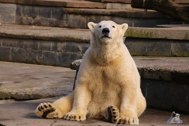 Eisbär Fiete im Zoo Rostock 20.03.2016  0270
