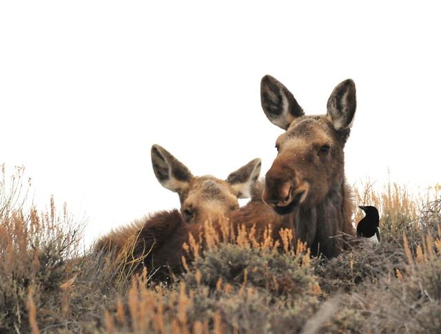 Moose Calves with a Black-Billed Magpie on Seedskadee NWR