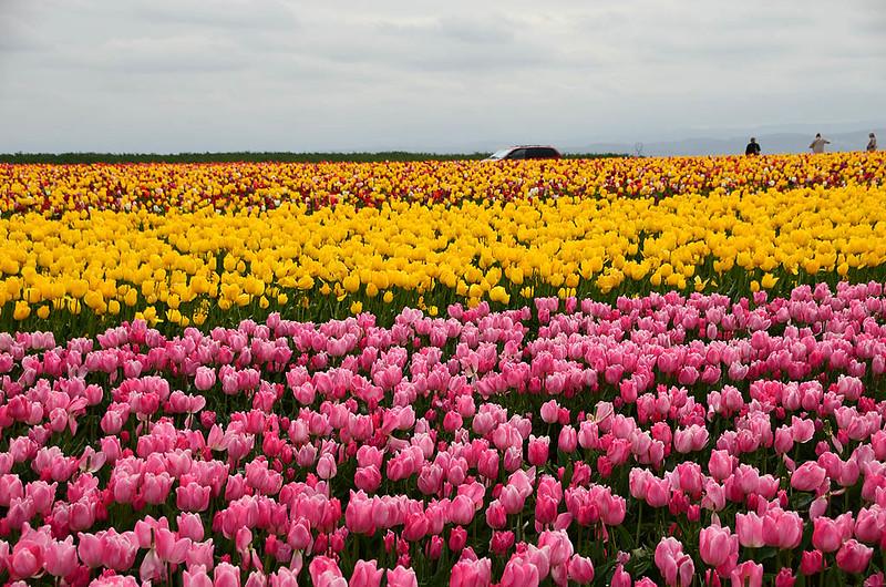 wooden-shoe-tulip-festival-11