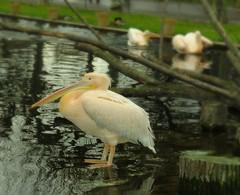 Flamingos, Storks, Herons, Cormorants, & Pelicans