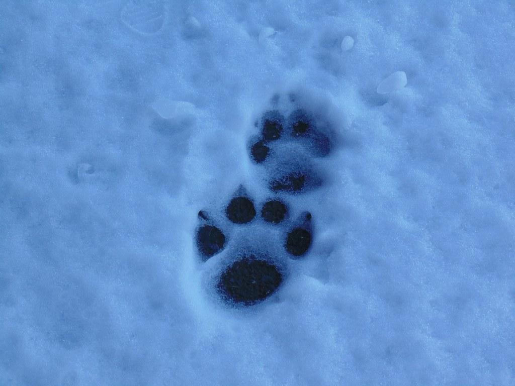 2 Cougar Tracks Frozen In Snow Dec 24 2015 Thanks For Expl