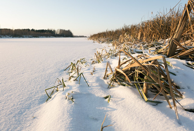 Withered grass on the bank of the snow-covered bayou