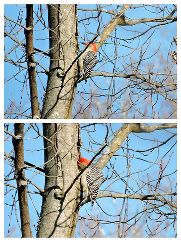 Red-bellied Woodpecker #15