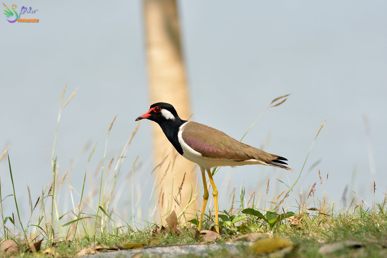 Red-wattled_Lapwing_2182