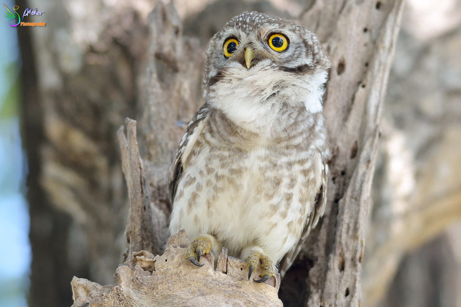 Spotted_Owlet_3462