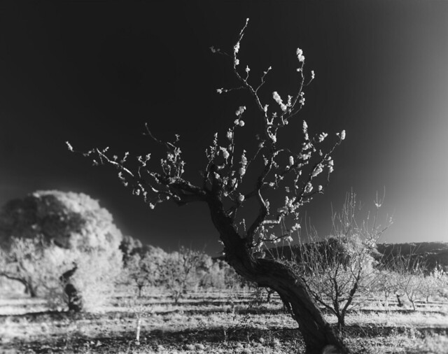 Blossoming Tree Heritage Orchard by the Saratoga City Library Infra Red