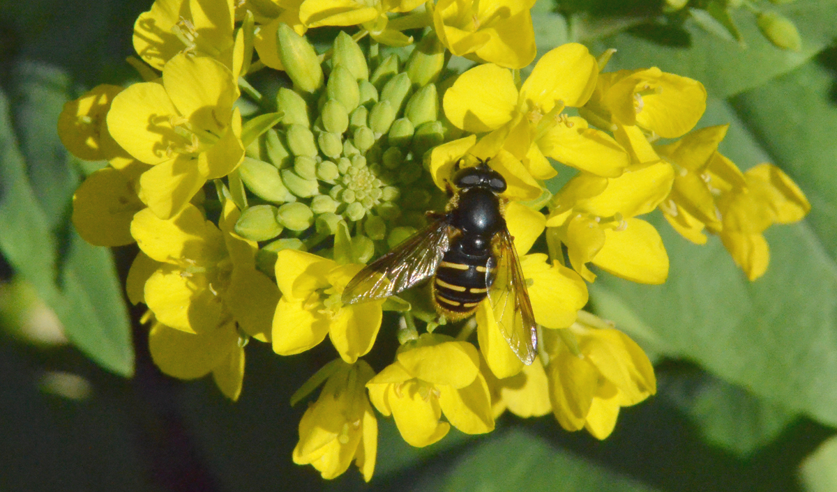 syrphid20160208sm066