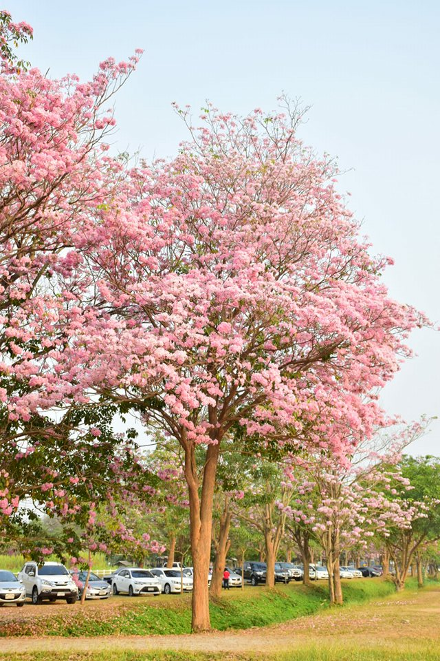 Tabebuia rosea (46)