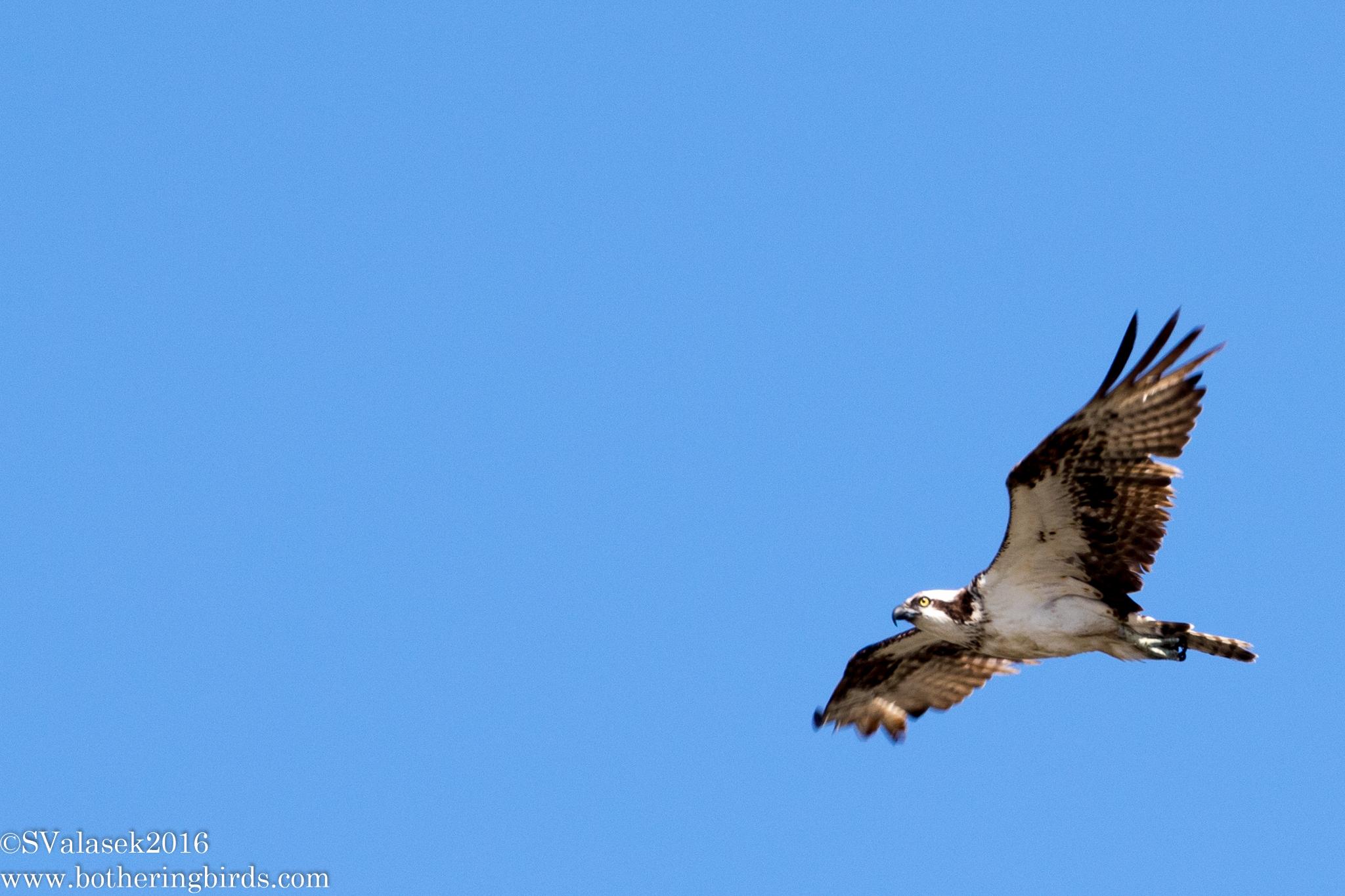 Northern Osprey