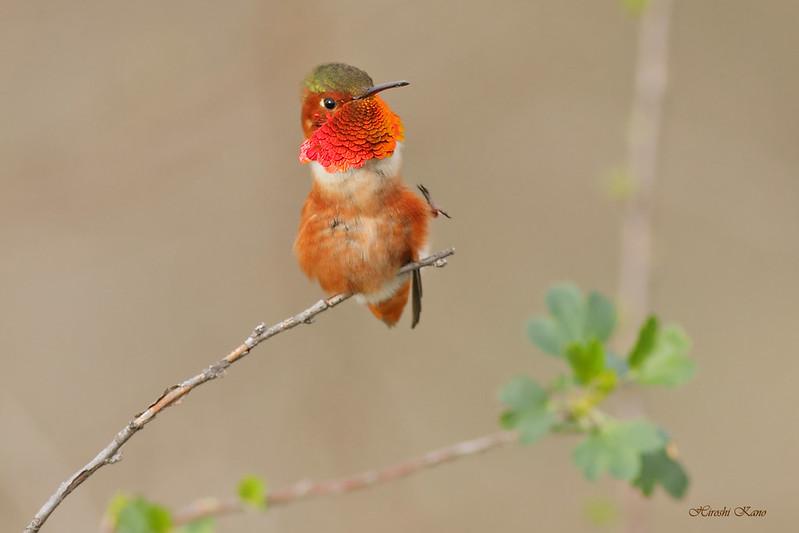 Allen's Hummingbird 2702161