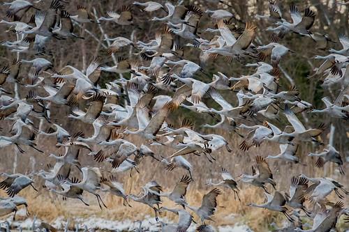 birdsinflight cranes largeflockofbirds sandhillcranes liftingoff platteriver sunrise gibbon nebraska grus canadensis gruscanadensis takingoff