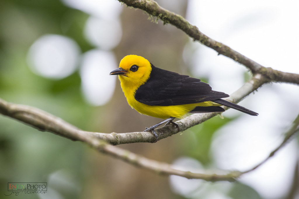Black-and-Yellow Tanager (Chrysothypis chrysomelas)