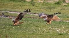 red kites, Gigrin Farm