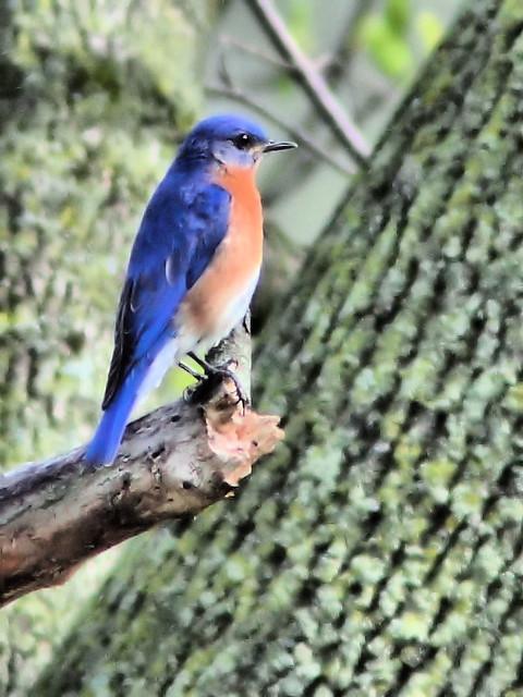 Eastern Bluebird HDR 2-20160421