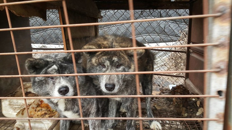 Victory! Kyesan Dog Farm to shut down and the launch of tax evasion investigation