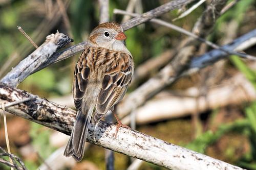 Negri-Nepote: Field Sparrow 1