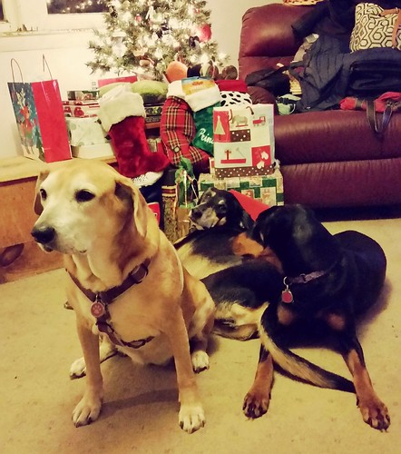 The Lapdogs on Christmas Morning with Christmas 2015 tree - Lapdog Creations