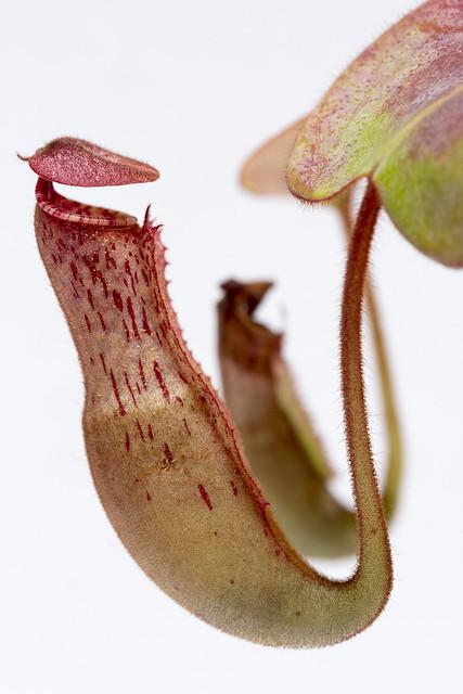 N. clipeata hybrid JDK