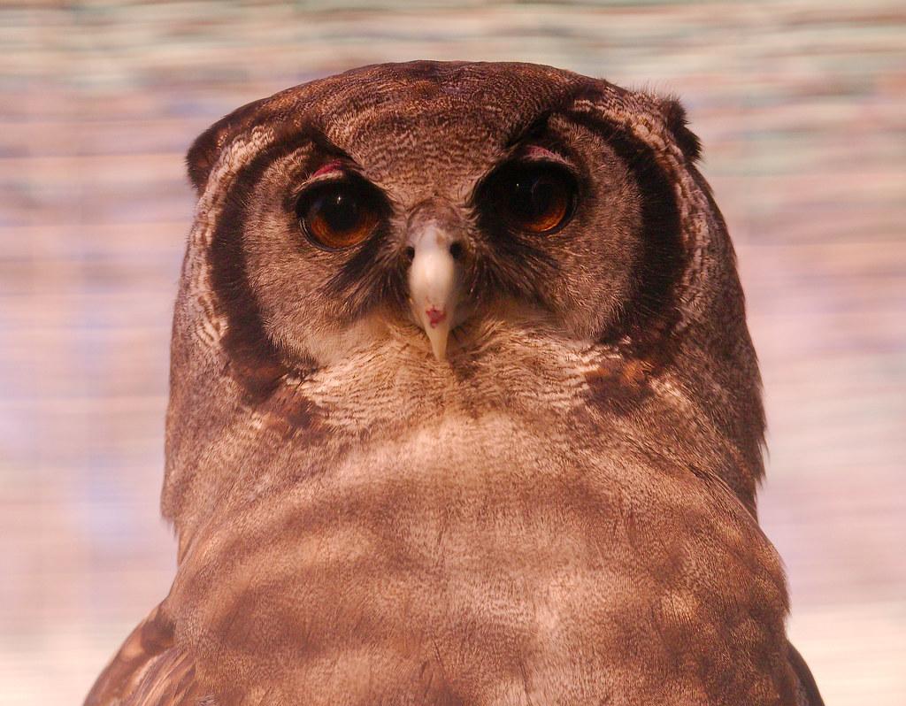 Milky Eagle Owl (Bubo lacteus)_18