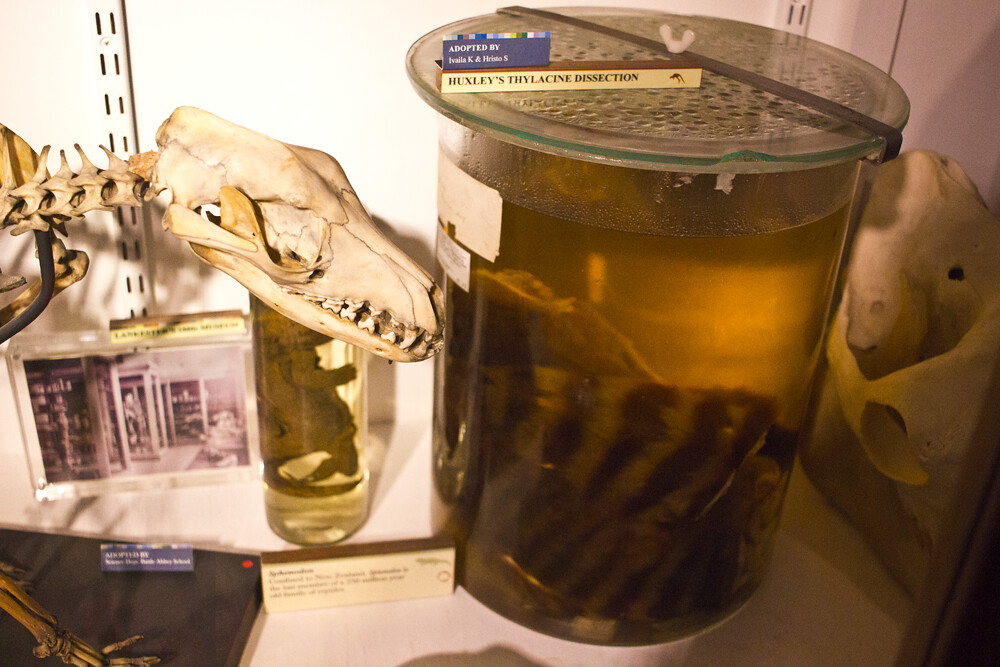 Grant Museum Of Zoology, Grant Museum, UCL, Zoology, museum, london, red brick, euston, london museum, animals, taxidermy, skeleton, thylacine