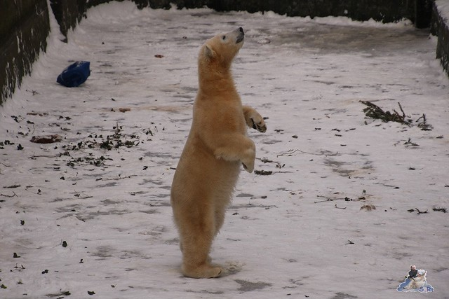 Eisbär Fiete im Zoo Rostock 23.01.2016  0267