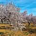 Almond blossom - 5/02/2016 by Slawek A7