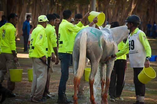 horse uae middleeast racing abudhabi arab endurance equestrian unitedarabemirates alwathba