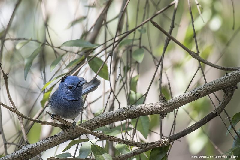 黑枕藍鶲 Hypothymis azurea@台南公園
