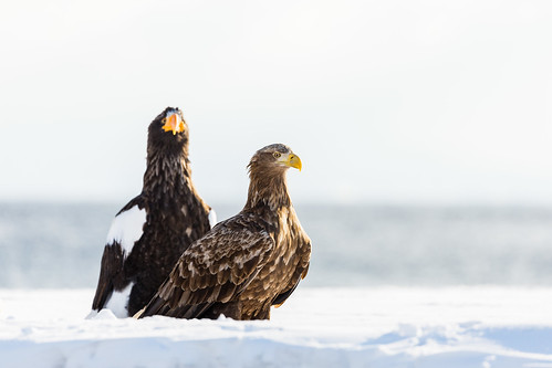 White-Tailed Eagle and Stellar's Sea-Eagle