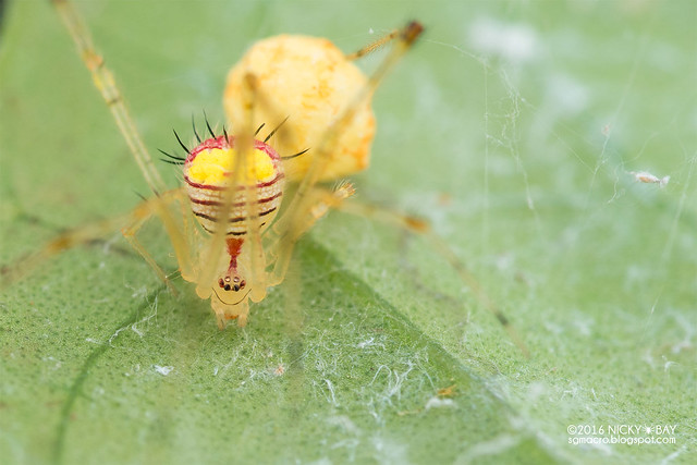 Comb-footed spider (Chrysso sp.) - DSC_7273