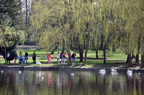 На ставку у Рівному — четверо лебедів