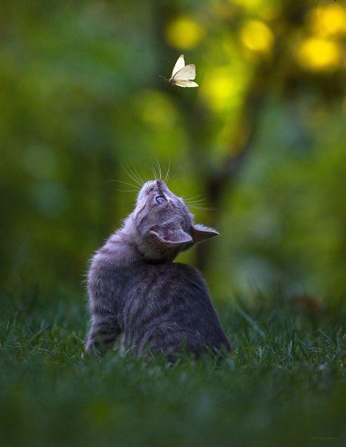cat - butterfly