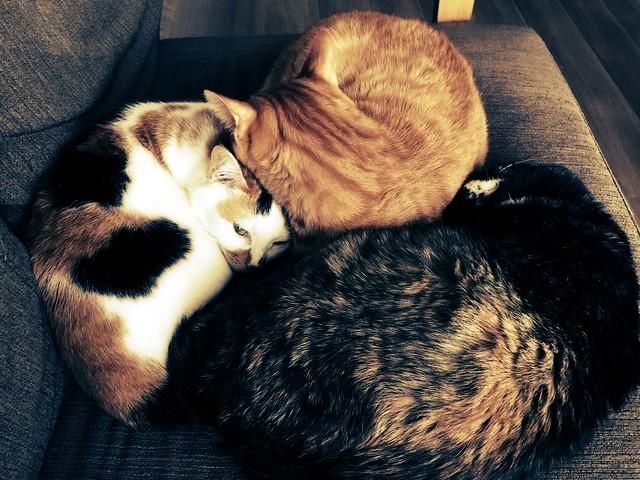 #cat #cats #catsofinstagram #catstagram #instacat #instagramcats #neko #nekostagram #猫 #ねこ #ネコ ネコ部 #猫部 #ぬこ #にゃんこ #ふわもこ部 #猫団子