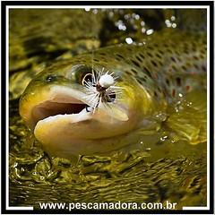 A esportividade e a beleza da pesca com mosca, se reflete nas fotos. Flyfishing, uma modalidade que encanta.  #pescaamadora #pesqueesolte #baitcast #pescaesportiva #sportfishing #fishing #flyfishing #fish #fly #truta #mosca #pescacommosca #catchandrelease