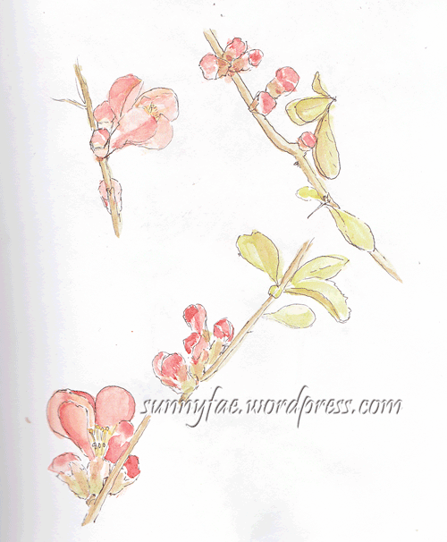japonica-quince-flower-sketch