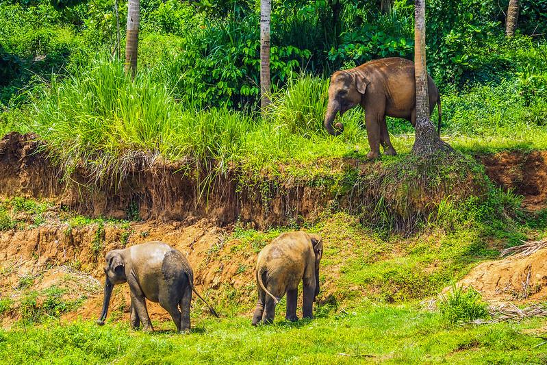 Sri Lanka. Orfanato Elefantes Pinnawala