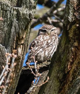 little owl 039c (15)