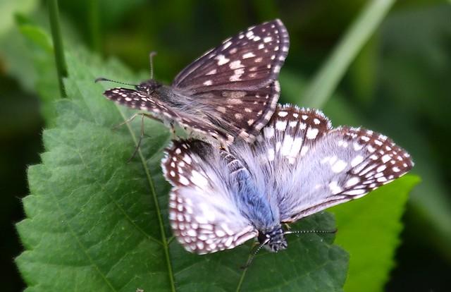 Acasalamento de Borboletas / Mating Butterflies