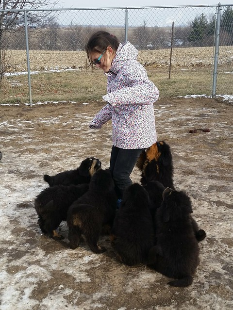 Graci with Tibetan Mastiff Puppies 20160124