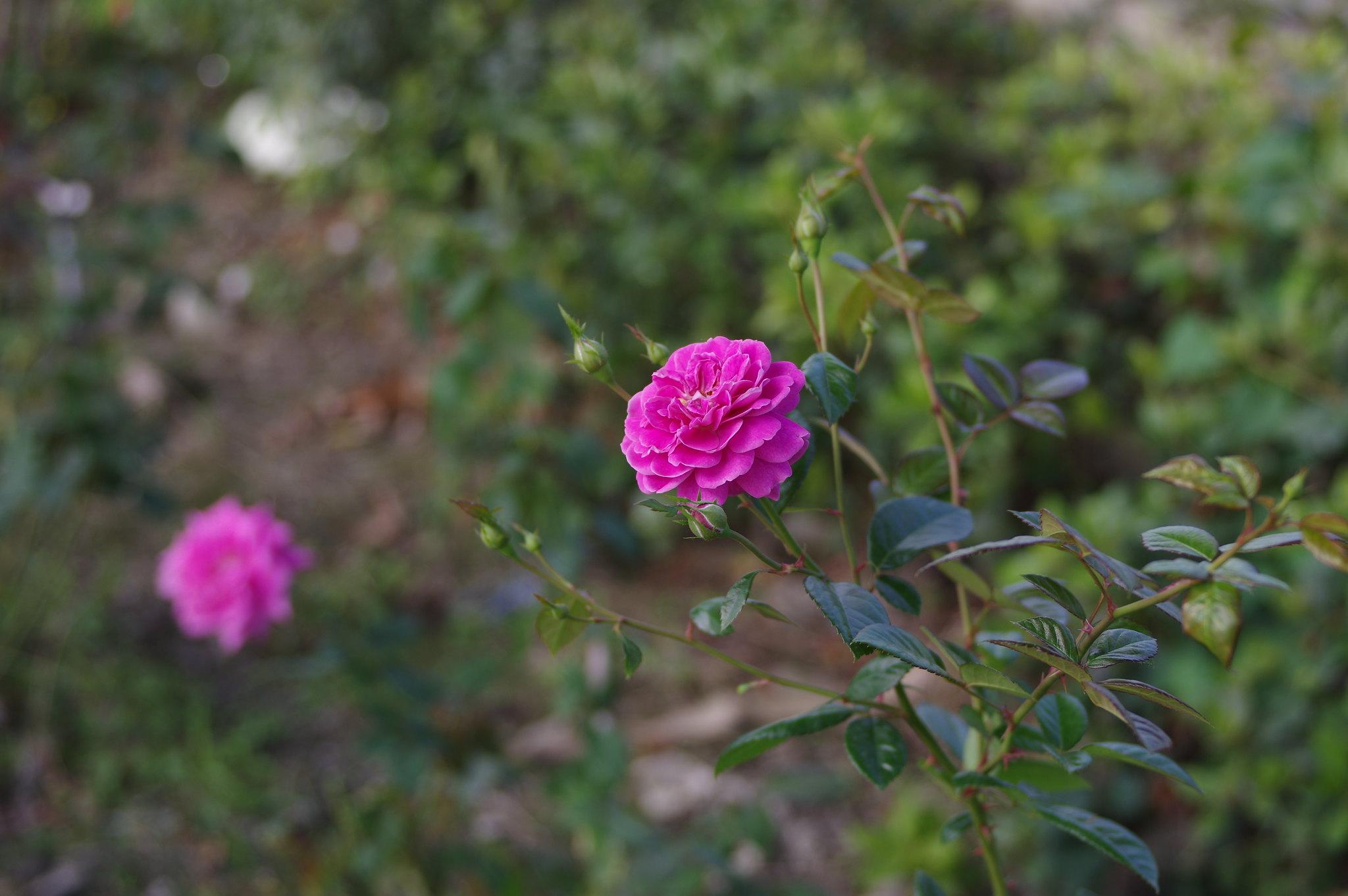 員林玫瑰記事
