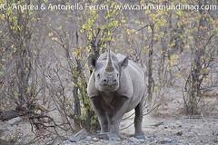 Black rhinoceros Diceros bicornis