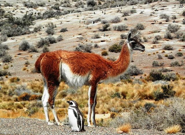 Guanaco e pinguino
